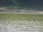 Strange unidentified ducks, very small.