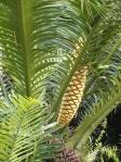 Unusual orange cone on palm tree @ Edison winter home