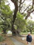 """Deerhead Oak, 1000 year old """"Live Oak"""" in McClellanville"""