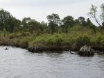 Alagator River - Pongo River Canal   Stumps everywhere.  Two years ago met 2 shrimpers in the fog here - da da DA da